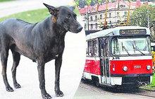 Pes jel sám tramvají!