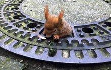 Otylý hlodavec se zasekl v kanále: Naolejuji-li veverku...