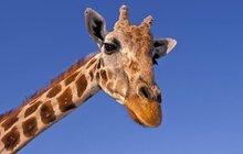 Panika mezi vědci: Žirafy vymírají!