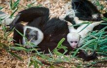 Nadílka v pražské zoo: Guerézy už hýčkají své »jezulátko«!