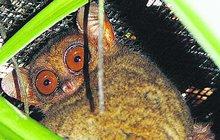 Zázrak! Narodil se skřítek neposeda. Čeští zoologové dokázali jako první na světě odchovat ohroženého nártouna filipínského. Narodil se 1. května v chovné stanici na filipínském ostrově Bohol.