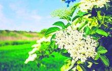 Bezinka se vždycky těšila velké úctě, staří Germáni dokonce uctívali Frau Holle, Bezovou matičku. Odolný a nenáročný keř roste všude a květy, plody i listy mají široké využití. Nepropásněte svou chvíli, bezinka právě začíná kvést!