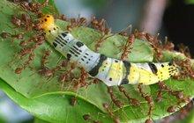 Na listy nalepili housenky z plastelíny a čekali, kdo je napadne. Tak jednoduše vypadal unikátní projekt vědců z 21 zemí světa. Ukázalo se, že největšími útočníky nejsou ptáci, ale mravenci.