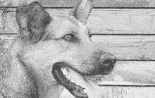 Velký vzteklý pes terorizoval městečko Jasiňa a jeho okolí na Podkarpatské Rusi v bývalém Československu koncem srpna 1937. Kdo se před ním neschoval, toho zvíře s pěnou u mordy pokousalo. Nakonec ho museli zastřelit příslušníci finanční stráže.