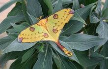Vzácný madagaskarský noční motýl se vylíhl v trojské botanické zahradě v Praze.