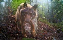 Vlci se vrací na Šumavu a přidělávají vrásky tamním zemědělcům. O víkendu zadávili devatenáct ovcí.
