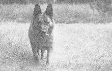 Vyrabovaný obchod našly prodavačky ze Strachotína na Břeclavsku jednoho listopadového rána roku 1965. Hrdinou případu se stal policejní pes, který zloděje vyčenichal.