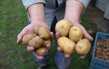 Brambory mají spoustu plus – nepotřebují kvalitní půdu, moc vody, hnojiv, nebo postřiků. Na malé ploše rychle vyprodukují nutričně hodnotnou potravinu, která je navíc i zdrojem vitamínů. Zkrátka, »erteple« nebo »kobzole« se vyplatí.
