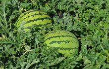 Velmi neobvyklou zahradu mají manželé Gurovi (68 a 71) z Dobříčan na Žatecku. Specializují se na různé rarity, pěstují banány, paw-paw, fíky, tamarilo, wasabi i lufu. Letos jim na záhonech navíc dozrává 15 druhů melounů.