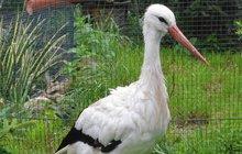 Říkají jí Boban, přestože se jedná o dvouletou samičku čápa bílého. V Kletečné na Vysočině se nyní ze své rodné Běluně na Královéhradecku ocitla ve vězení.