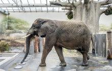 Otlaky a kuří oka... Nejen naše nožky, ale i ty sloní vyžadují pravidelnou péči. Práce pedikérky chobotnatců v žádném případě není pro křehké ručky, ale pro pořádné chlapy!