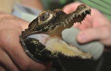 Jako z vody rostou tři krokodýli čelnatí v královédvorské zoo. Před třemi roky vylíhlá mláďata nejmenšího krokodýla na světě nyní získávají dospělé černé zbarvení a »nasazují« brnění tvrdší než mají jiné druhy, aby snížili svoji bezbrannost.