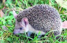 Češi jsou známí milovníci zvířat, a když za chladné noci potkají opuštěného ježka, probudí se v nich touha zachraňovat. Pozor ale, abyste zbytečně neodchytli zdravé a životaschopné zvíře.