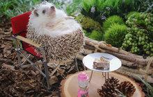 Je sice tak malý, že se svému majiteli vejde do dlaně, ani to mu ale nebrání v tom, aby zažíval velká dobrodružství. Na jedno takové se ježek jménem Azuko vydal do kempu.