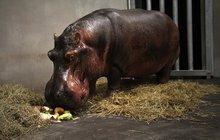 Nového partnera přivezla královédvorská zoo svým hrošicím Hule (5) a Moně (4). Samec Mike (32) z Německa nahradí Karla Wilhelma (†2), který zemřel v létě na následky zranění ze šarvátek se samicemi.
