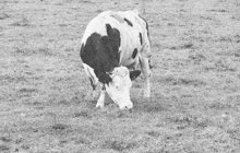 Brzkou smrt jediné kravky i manželky do pěti týdnů věštily v listopadu 1936 v jihočeském Rožmberku dvě podvodnice starému domkáři Františku S. Tvrdily ovšem také, že dokážou nepřízeň osudu od manželů odvrátit.