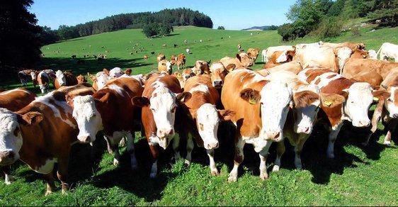 Stádo krav našli v jiné ohradě!