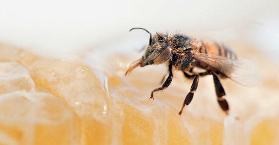Existují tisíce rostlin, jež se neobejdou bez opylení včelami. Bez nich nebudou ani jablka, hrušky atřešně.