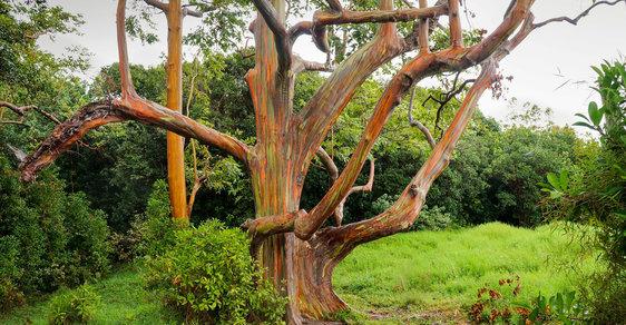 Duhový eukalyptus