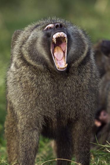 Zívající zvířata