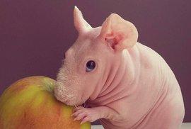 Ludwik, morčecí naháč s vášní pro modeling a jídlo, jak jinak