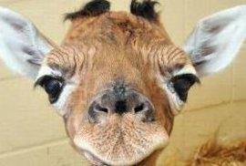 Žirafí mládě