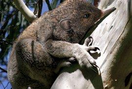 Koalmraveč - žije na stromě, žere mravence a je roztomilý