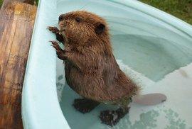Po ježcích teď toužím po malých bobřících