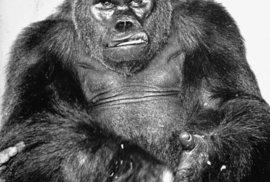 Gorilí samec Gargantua byl ošklivě poraněn kyselinou při převozu z Afriky.