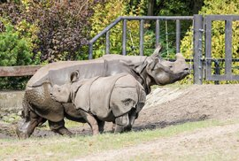 Zoo Plzeň - mládě a matka nosorožce indického