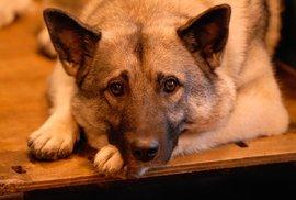 Pes ve střídavé péči: Jak to vypadá, když o domácím mazlíčkovi rozhoduje soud?