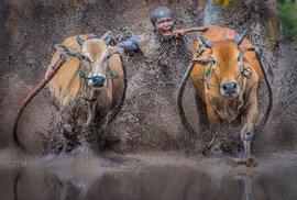 Závody krav jsou populárním koníčkem indonéských farmářů