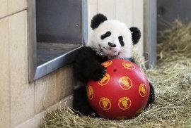 Čína vystěhuje 200 tisíc lidí z domovů. Vybuduje rezervaci pro pandy velké