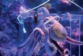 Chobotnice hravě řeší bludišťové záhady (Oceánografické muzeum).