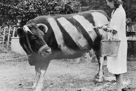 Farmářka maluje na svoji krávu barevné pruhy. Ty měly zabránit nočním nehodám, protože některá zvířata utekla a bloudila po silnicích.