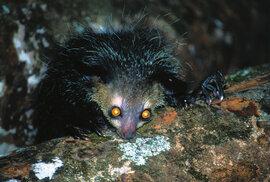 Ksukol ocasatý je podivné stvoření. Má nápadně velké oči i ušní boltce, silný prsteníček s mocným drápem a prostředníček naopak tenký a dlouhý.