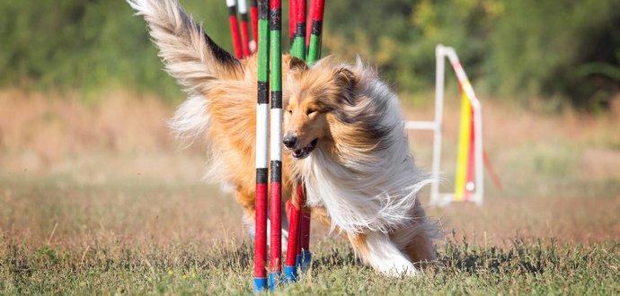 Vytvorte so svojím psom zohraný tím: tipy, ako začať s agility