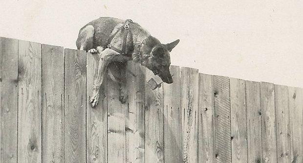 Četnický pes Alto: Psí čenich dokáže divy