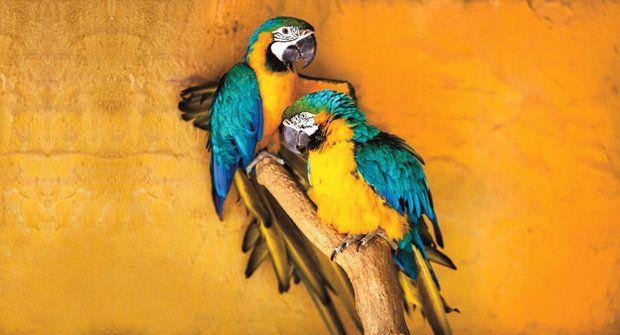 Papoušci ara: Nejchytřejší opeřenci