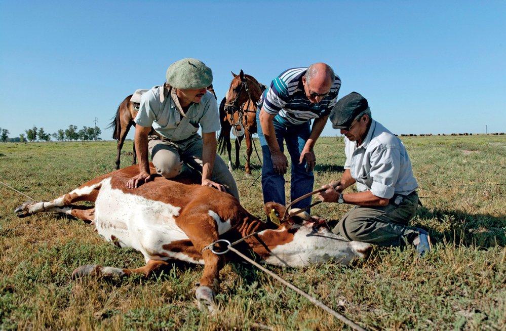 Na větších farmách jsou týmy gaučů početnější.