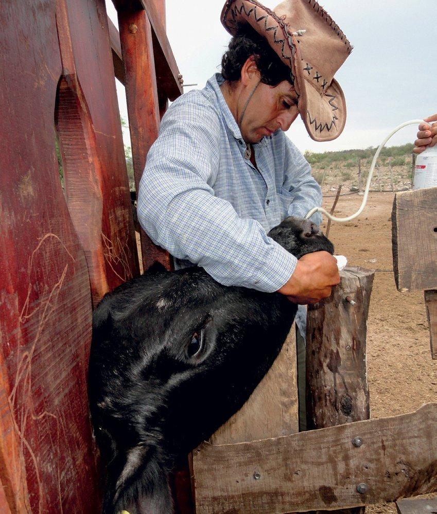 Daniel znehybnil krávu v dřevěném svěráku a dává jí v injekci lék.