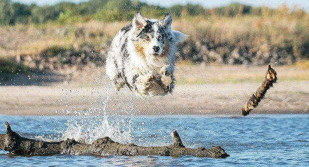Australský ovčák: Vyrovnaná povaha i plno elánu