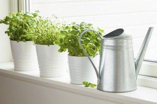 Čerstvé bylinky v zimě? Bazalku, rozmarýn i tymián vypěstujete i v bytě