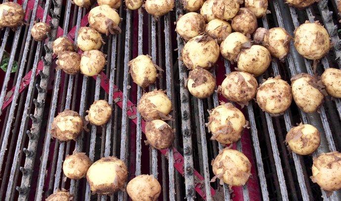 Sklizeň brambor, základní suroviny pro výrobu škrobu