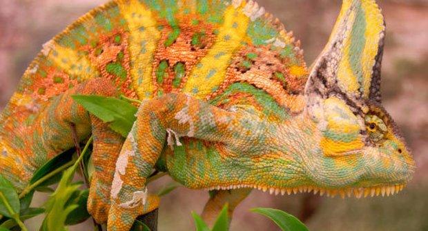 Chameleóni používají válečné barvy