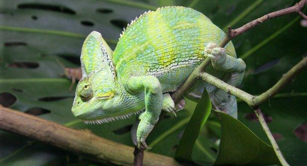 Pestřejší vyhrává: Souboj barev chameleoních samců