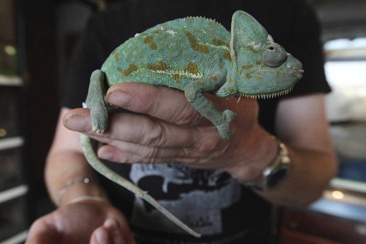 V Zavadilově chovu je i chameleon jemenský