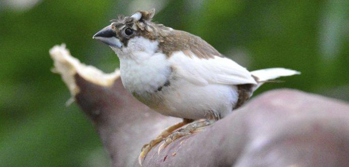 Chůvička japonská: Nenáročný exotický pták