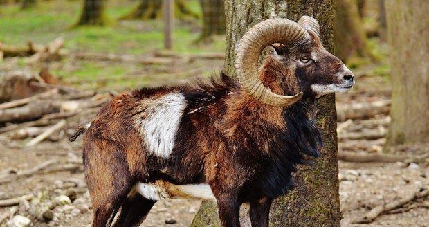 Přemnožení daňci a mufloni zdevastovali přísně chráněnou krajinu v Poodří.