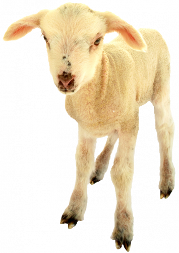 Kudrnatá ovce, 800 Kč, skutecnydarek.cz